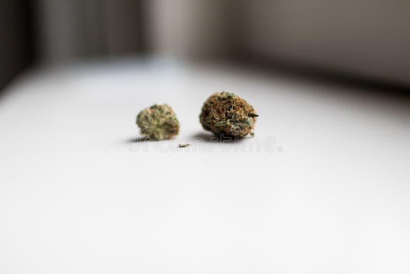 Inflorescence av laglig cannabis i holland på en vit bakgrund royaltyfri bild