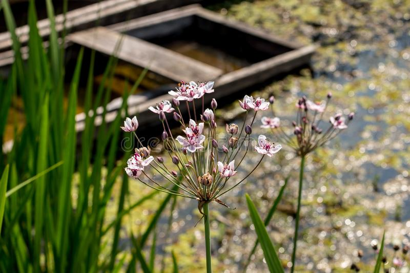 Inflorescence of Butmous umbellatus - flowering rush. In the Zasavica, the Special Nature Reserve in serbia royalty free stock image