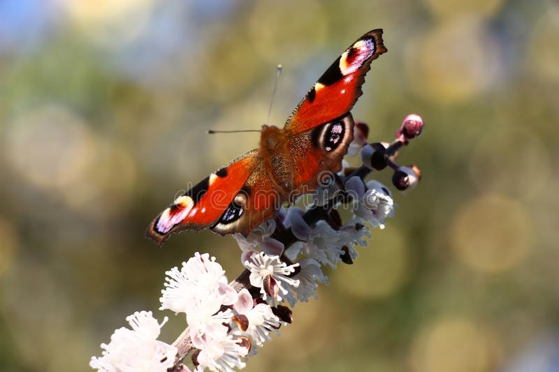 Motley butterfly on a cimicifuga inflorescence. stock image