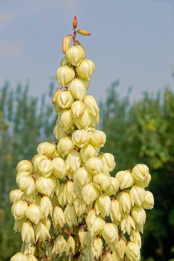 Inflorescence d'agave images libres de droits