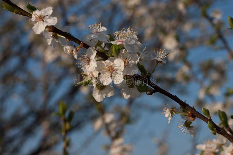 inflorescence d'une pomme image libre de droits