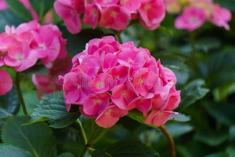Inflorescence des fleurs roses lumineuses d'hortensia dans le jardin image libre de droits