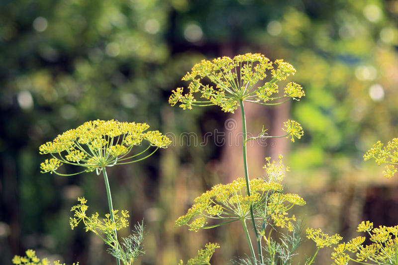 inflorescence dill royalty free stock photos