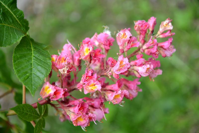 Inflorescence of a horse chestnut  meat - red Aesculus ×carnea Zeyh.. Close up stock images