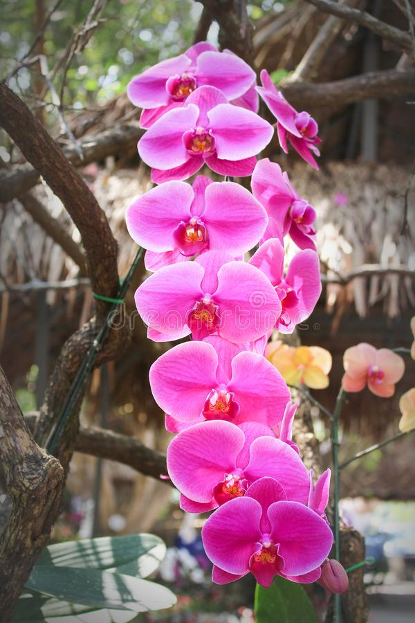 Inflorescence huge sweet colorful pink phalaenopsis orchids with line pink  group blooming and green stem hanging royalty free stock images