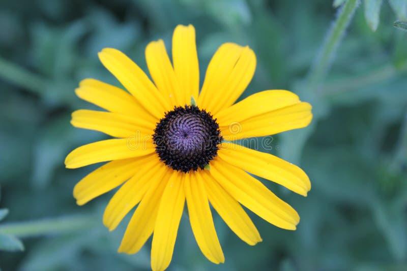 Inflorescence jaune de marguerite dans le jardin photo stock