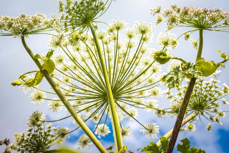 Inflorescence of a large number of white flowers. Flowers grow against a blue and clear sky. The bright rays of the sun illuminate the beautiful flowers stock photo