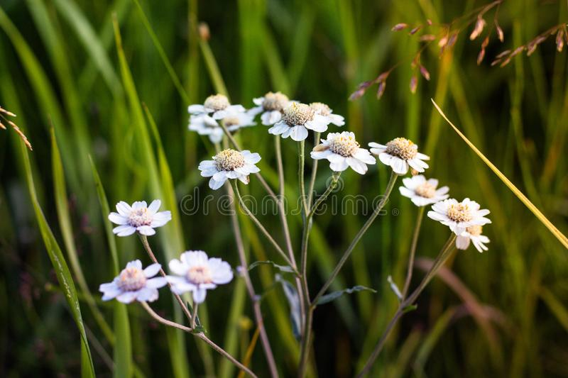 Inflorescence of a large number of white flowers. Flowers grow against the background of green grass that grows in a forest glade royalty free stock images