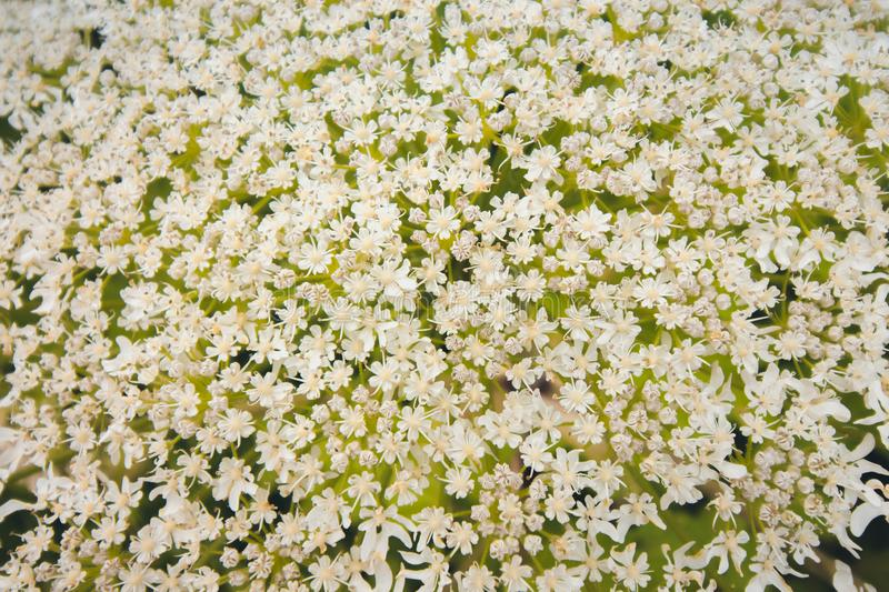 Inflorescence of a large number of white flowers. Flowers grow against the background of green grass that grows in a forest glade stock images