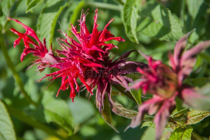 Inflorescence Monarda didyma (Scarlet beebalm) stock image