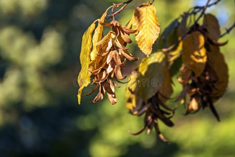 Inflorescence och sidor av en avenbok (Carpinus Betulus) i aut royaltyfri foto