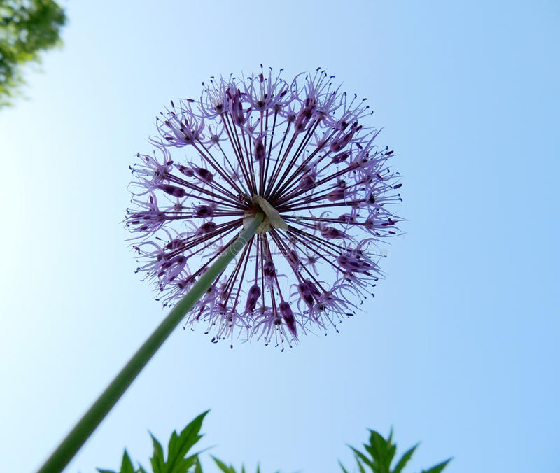 Download Inflorescence Ornamental Onions (Allium) Stock Photo - Image: 31553792