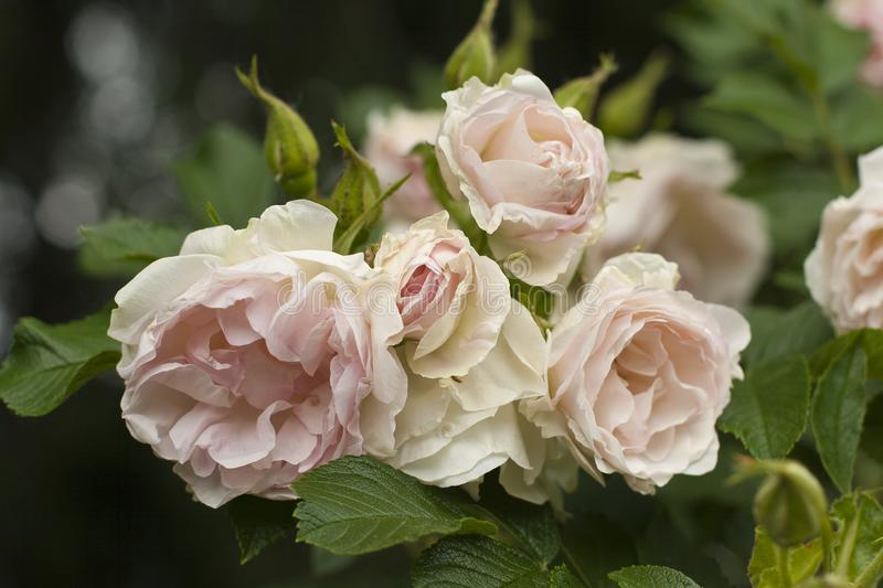 Inflorescence of pale-rose tender and beautiful roses with green leaves and buds surrounding them. stock photos