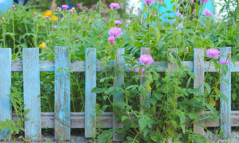 inflorescence of pink flowers on the background of the old blue picket fence royalty free stock image