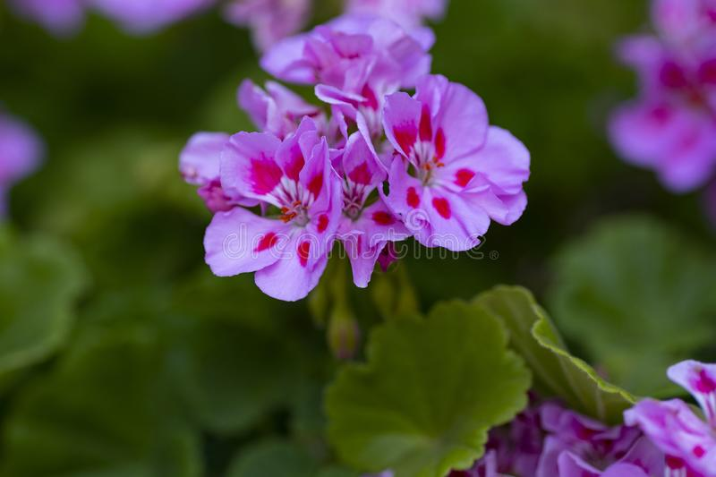 Pink geranium flowers royalty free stock images