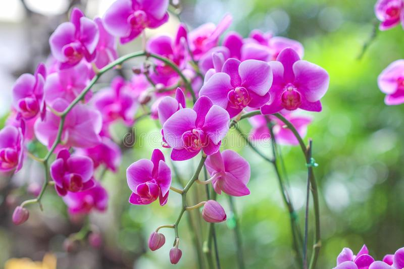 Inflorescence of purple orchids blooming in garden with bokeh background,natural flower huge group hanging on tree. Close up Inflorescence of purple orchids stock images