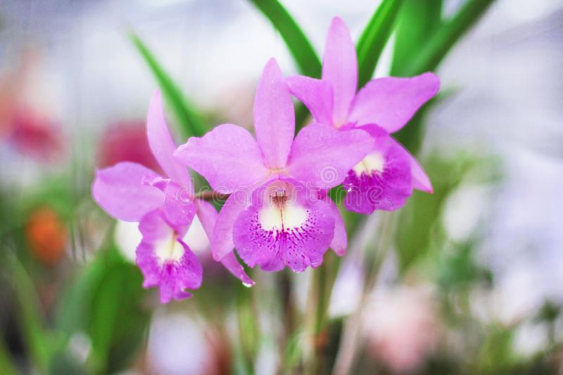 Inflorescence of purple orchids group blooming with water drops natural patterns in garden royalty free stock image