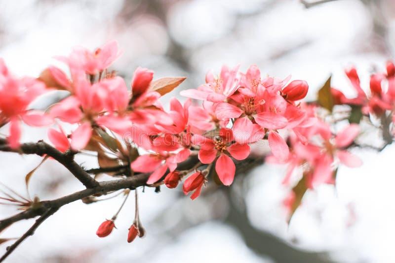 Inflorescence rose crémeuse de Sakura image stock