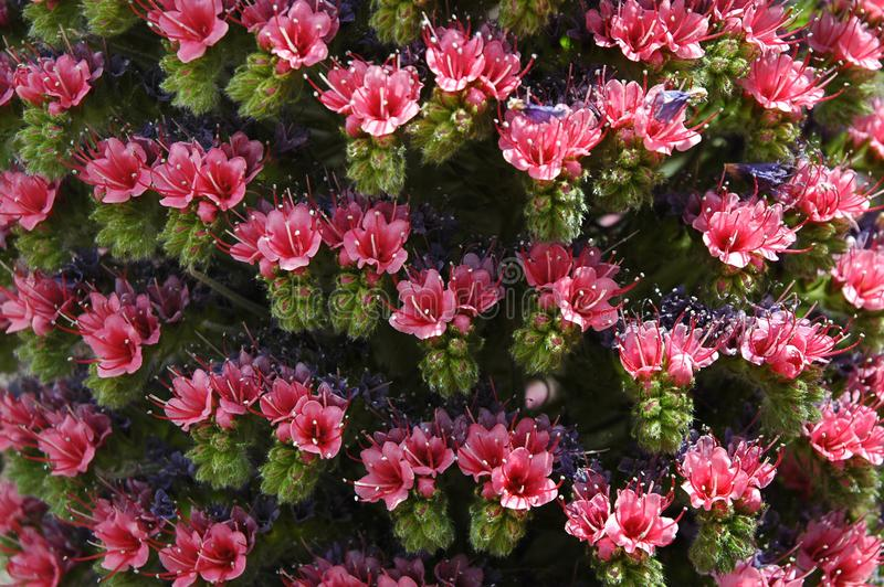 Inflorescence rose fleur d'Echium Wildpretii ou de Tajinaste de rojo image libre de droits