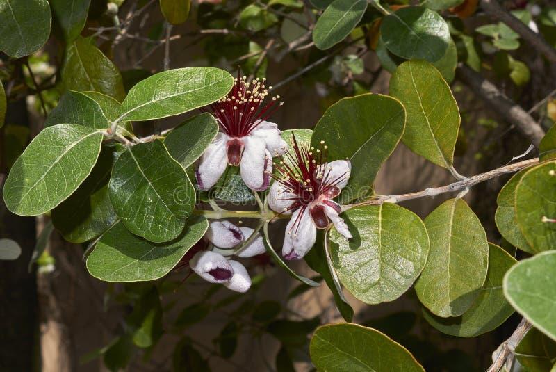 Inflorescence rouge d'arbre de sellowiana de Feijoa photographie stock