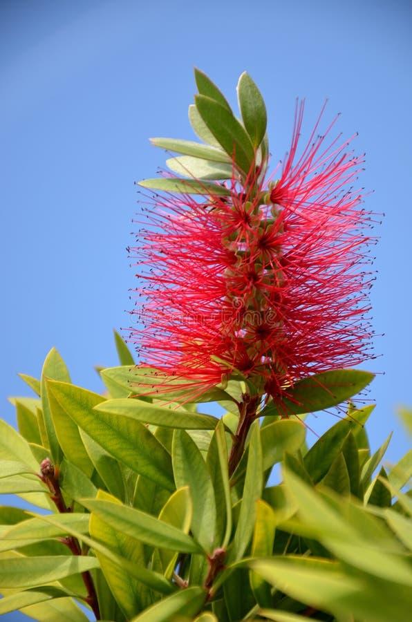 Inflorescence rouge de citrinus de Callistemon image stock