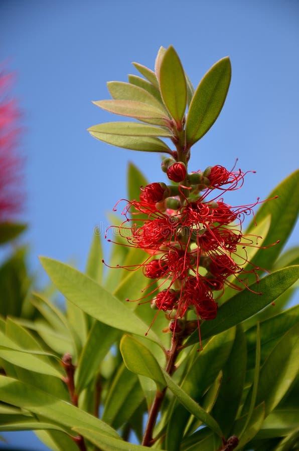 Inflorescence rouge de citrinus de Callistemon photographie stock
