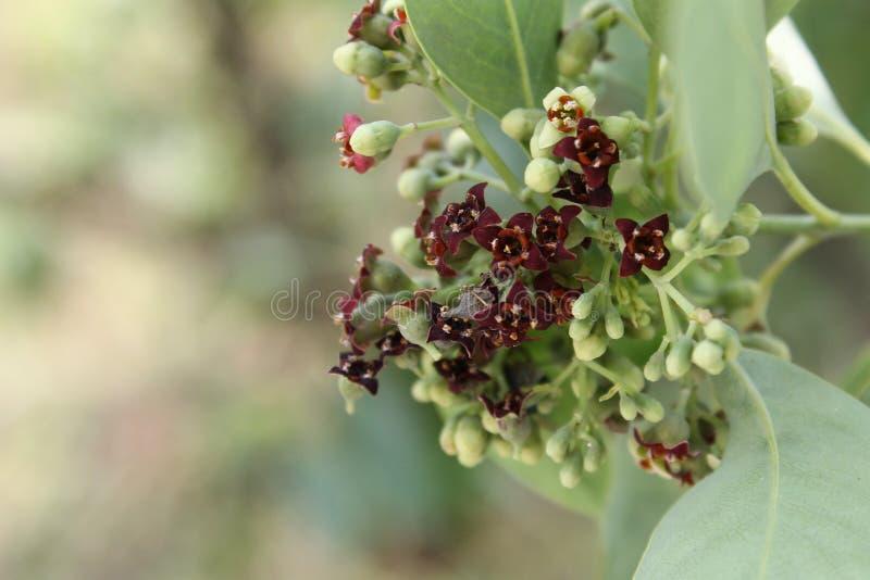 Inflorescence of Santalum album, Indian sandal wood tree