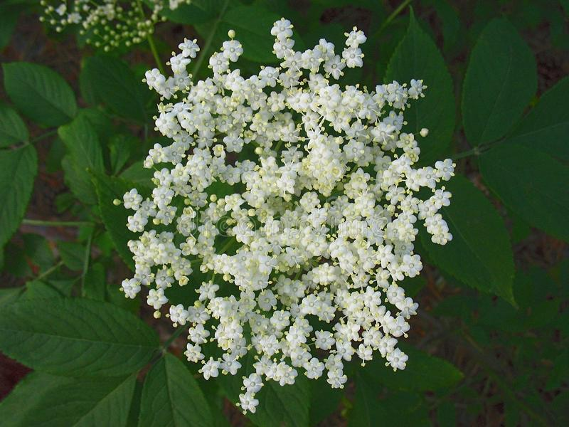 Inflorescence of small white flowers at green in wild royalty free stock image