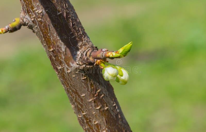 Inflorescence sur une petite branche de cerisier au printemps images libres de droits