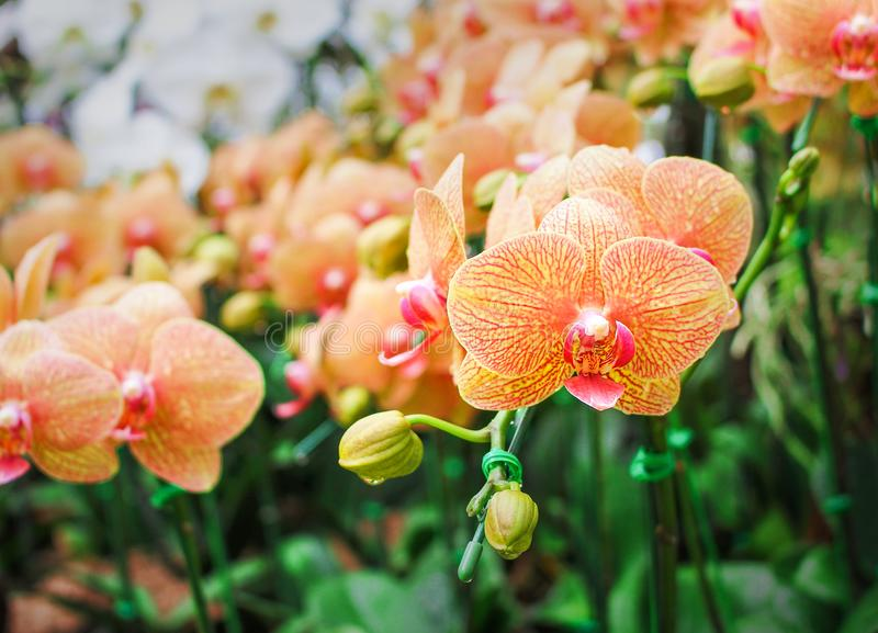 Inflorescence sweet colorful yellow with line red phalaenopsis orchids with water drops big group blooming and green stem , leaves royalty free stock photo