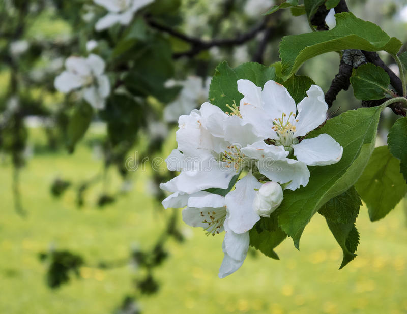 Inflorescence of white apple blossoms royalty free stock photos