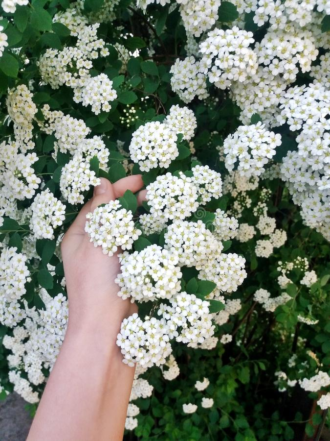 Inflorescence of white spiraea stock images