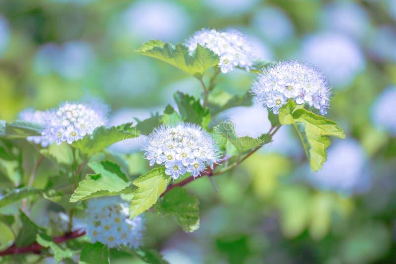 Inflorescences blanches de buisson de floraison de spirea photographie stock libre de droits