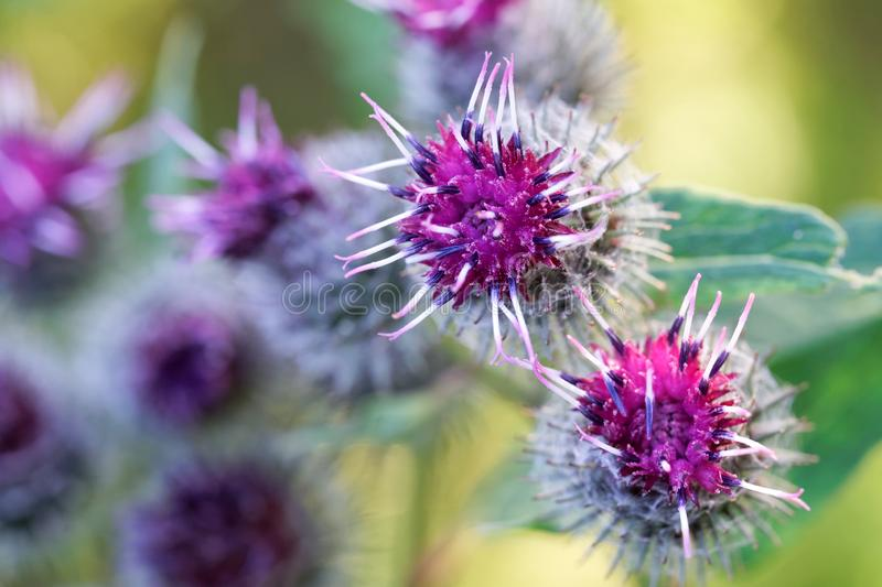 The inflorescences and flowers of burdock on a green background. Close-up. Macro. Shallow depth of field royalty free stock image
