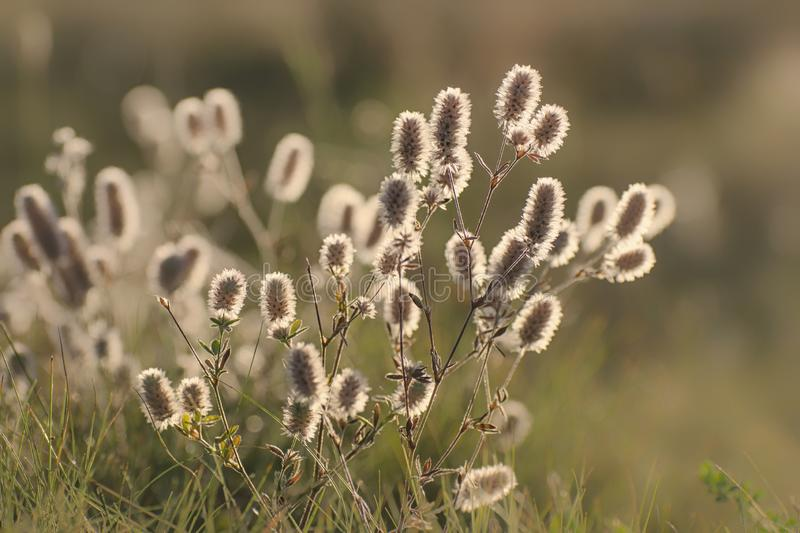 Inflorescences of meadow clover in the backlight on the field.  stock photo