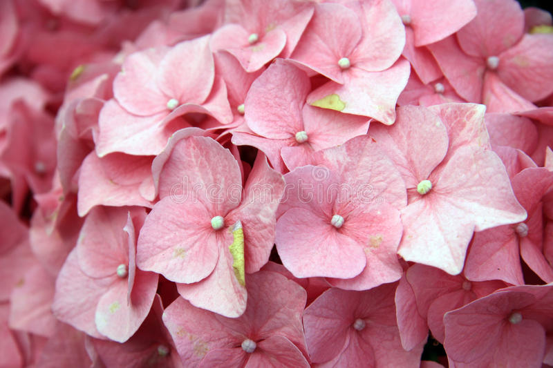 Inflorescences. The inflorescences of pink flowers of hydrangea stock photos