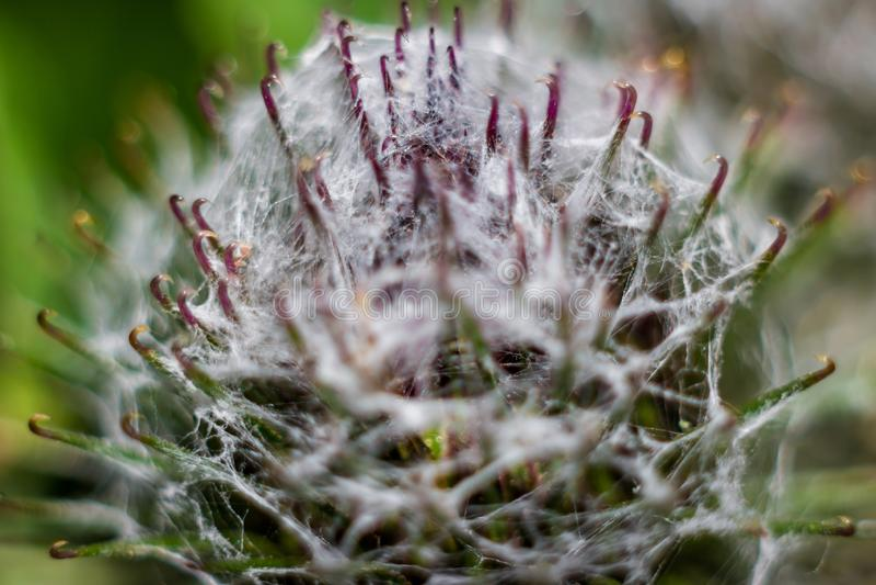 Inflorescences of woolly burdock Arctium tomentosum stock photos