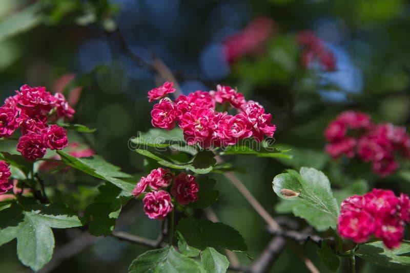 InflorescencesCrataegus Pauls Scarlet Tree som bakgrund ?r, kan filialen anv?nd blomning arkivbilder
