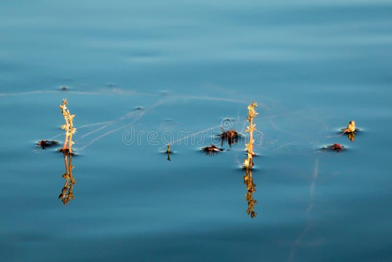 Inflorescencia alterna de la agua-milenrama foto de archivo libre de regalías