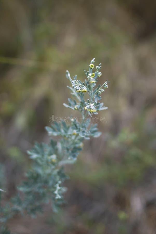 Inflorescencia amarilla del absintio de la artemisia imagen de archivo