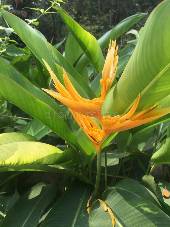 Inflorescencia amarilla y hojas verdes del llantén de los loros, psittacorum de Heliconia del llantén del ` s del loro foto de archivo libre de regalías