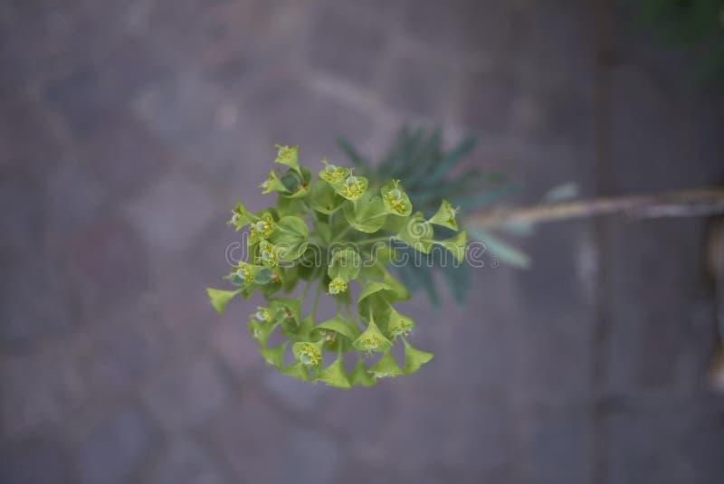 Inflorescencia amarilla y verde de los characias del euforbio fotos de archivo libres de regalías