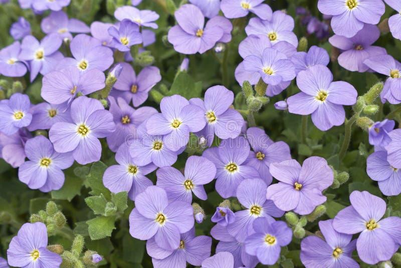 Inflorescencia azul púrpura de Aubrieta fotografía de archivo