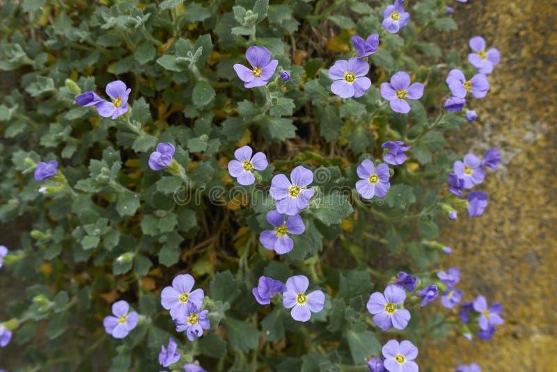 Inflorescencia azul púrpura de Aubrieta foto de archivo