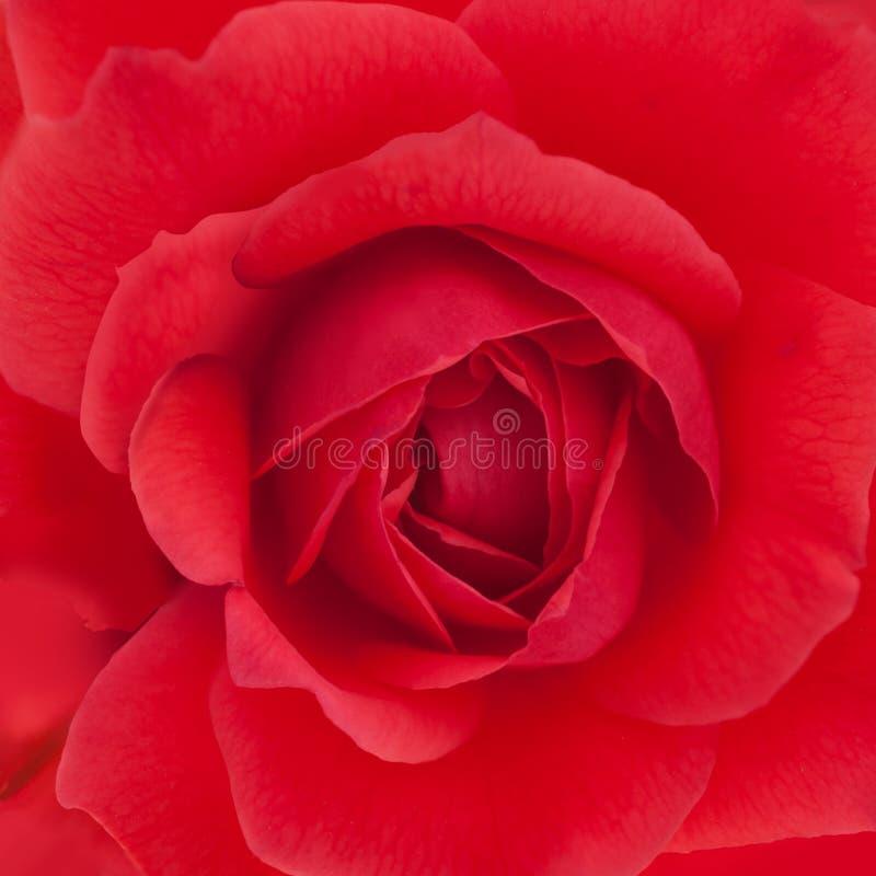 Inflorescencia color de rosa roja en marco cuadrado completo fotografía de archivo