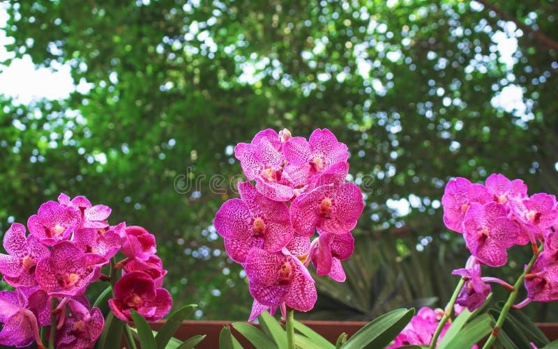 Inflorescencia colorida de las flores rosadas de las orquídeas de Vanda que florecen en jardín imagenes de archivo