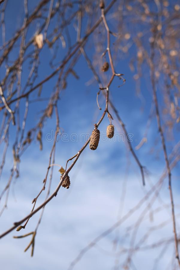 Inflorescencia de Betula Pendula imagenes de archivo