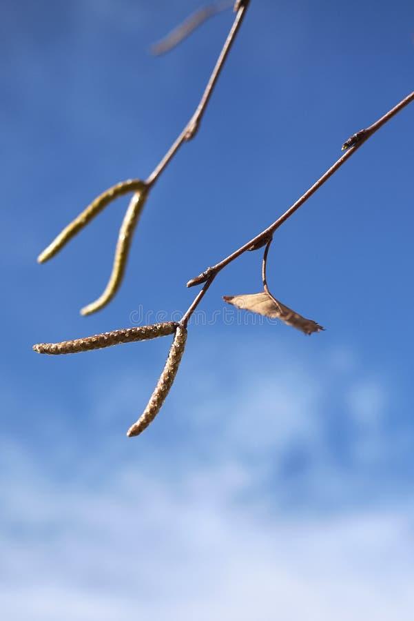 Inflorescencia de Betula Pendula fotografía de archivo