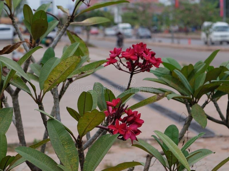 Inflorescencia de flores hermosas con los pétalos rosados, brotes rosados, follaje verde imagenes de archivo