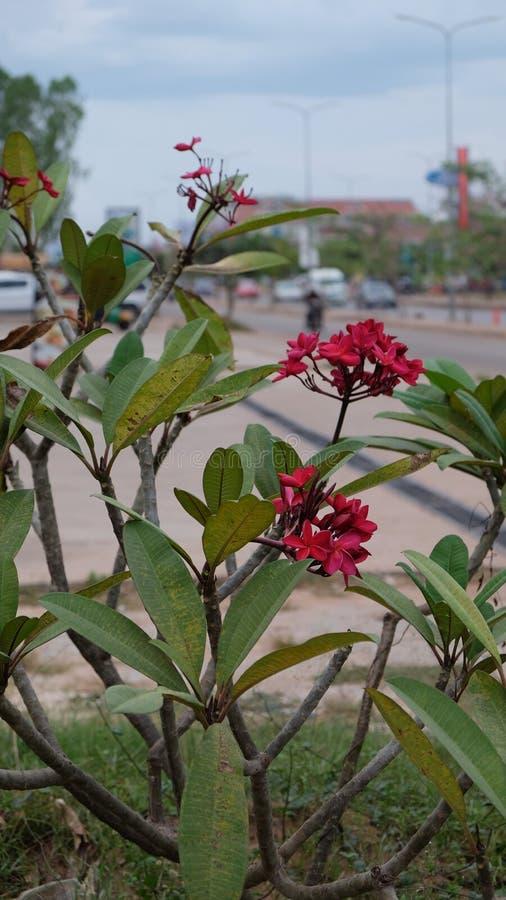 Inflorescencia de flores hermosas con los pétalos rosados, brotes rosados, follaje verde fotografía de archivo